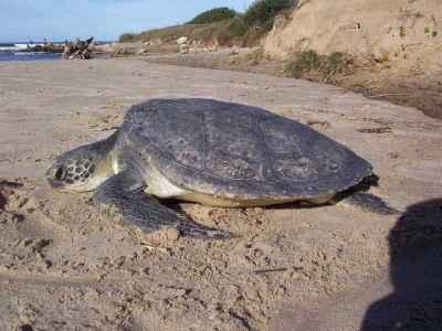 Perú será sede de convención interamericana para protección de tortugas marinas